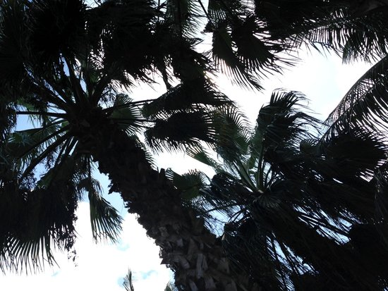 Sunscape Sabor Cozumel: Beautiful Palm Trees filled with Coconuts
