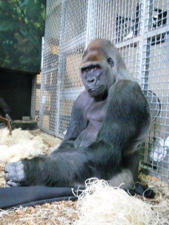 Lincoln Park Zoo: Gorilla