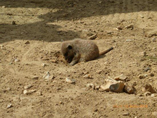 Amazon World Zoo Park: Baby Meekat
