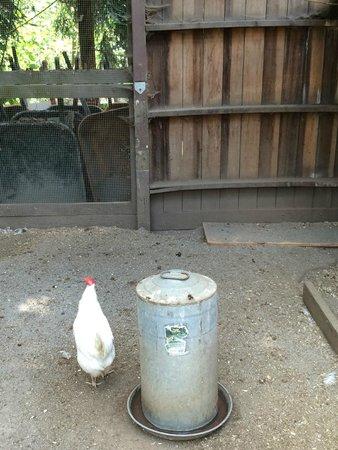 Lemos Farm : Chicken