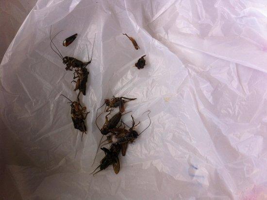La Quinta Inn Suites Virginia Beach Crickets