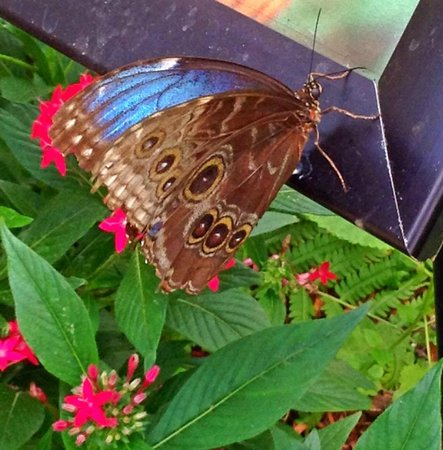 The Original Mackinac Island Butterfly House & Insect World: Favorite Butterfly
