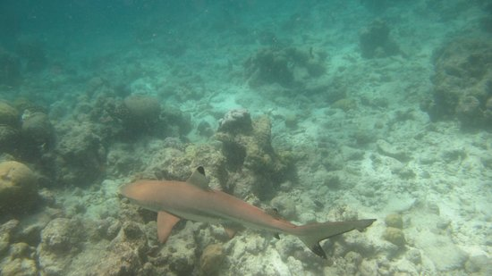 Kuramathi Island Resort: Requin