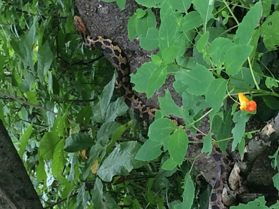 Point Pelee National Park: A beautiful Fox Snake