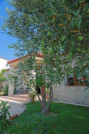 Nostos Hotel : Olive tree