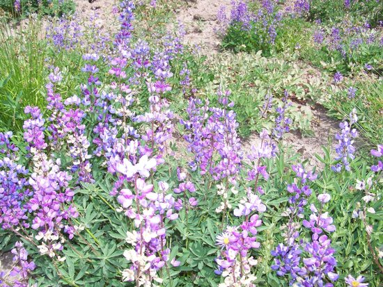Hood River, Oregón: Lovely wildflowers in August on Timberline Trail/Pacific Rim Trail