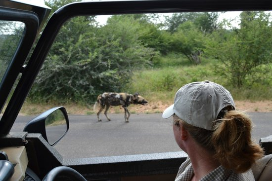 Komatipoort, Zuid-Afrika: Rare  Wild dog sighting