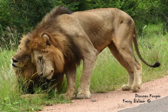 Discover Kruger Safaris: Brother Love With Male Lions