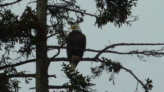 The Alaska Beach House: Resident eagle