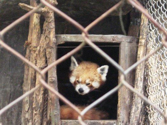 Padmaja Naidu Himalayan Zoological Park : Red punda at zoo