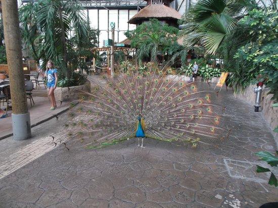 Tropical Islands Resort: Der Pfau