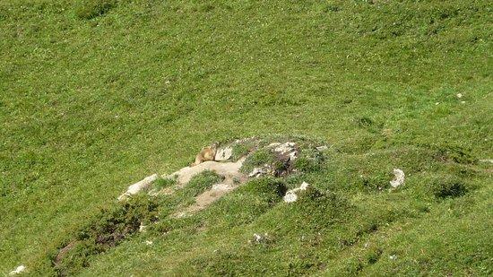 Le Dou du Praz: Une marmotte
