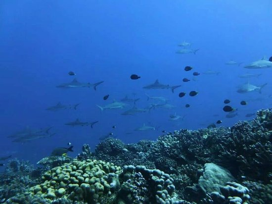 TOPDIVE Fakarava : L infinita corrente di squali. ..