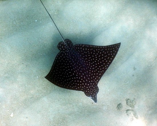 Baja Bungalows: spotted eagle ray