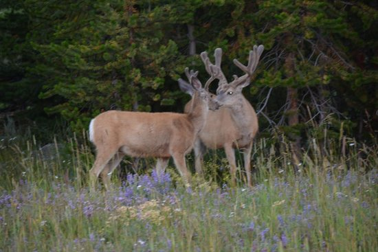 Lake Yellowstone Hotel and Cabins : Deer in the nearby meadow