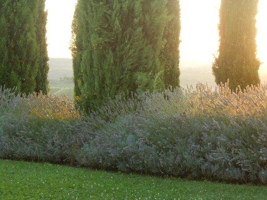 Relais Villa Grazianella - Fattoria del Cerro : Lavanda sul viale di ingresso al tramonto