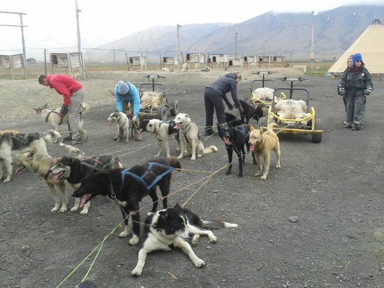 Svalbard Husky : Harnessed up, ready to roll