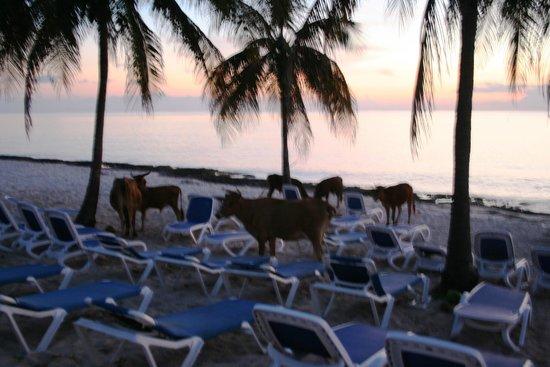 Hotel Maria La Gorda : Cows on the beach enjoying sunset