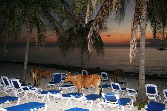 Hotel Maria La Gorda : Cows arrive for the sunset and nightlife