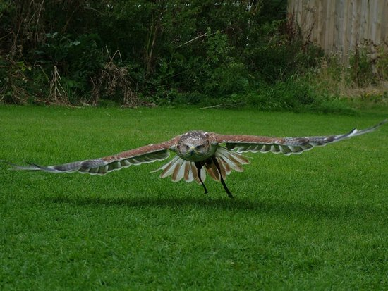 York Bird of Prey Centre: Ferruginous Hawk in flight