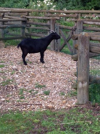 Disney's Davy Crockett Ranch : Goat at the 'petting zoo'