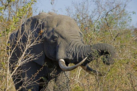 Shumbalala Game Lodge: Elephant