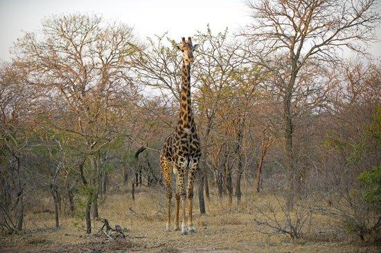 Shumbalala Game Lodge: Giraffe