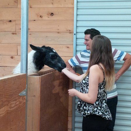 Mountain Goat Lodge: Meeting the llama!