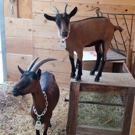 Mountain Goat Lodge: The goats!
