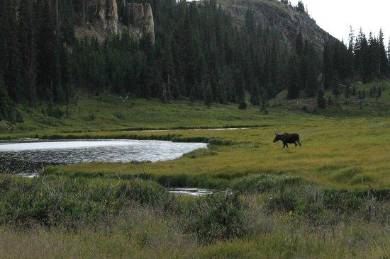 Trail Ridge Road : Moose