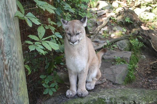 Squam Lakes Natural Science Center: Mountain Lion