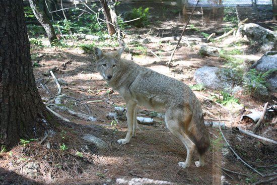 Squam Lakes Natural Science Center: Rescued Coyote
