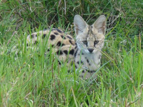 Elephant Pepper Camp: Serval cat
