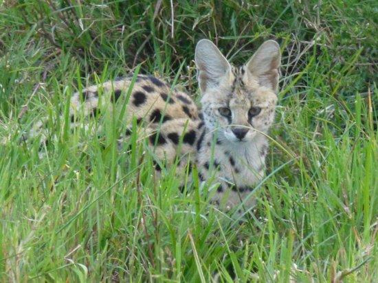 Elephant Pepper Camp : Serval cat