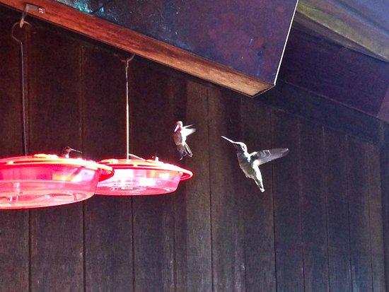 Osprey Peak Bed & Breakfast: Hummingbird activity