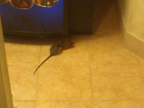 New Orleans Marriott: Rat in the hallway on the 7th floor