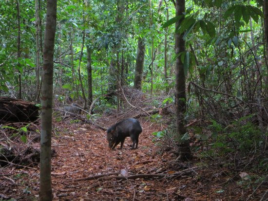 Bosque del Cabo Rainforest Lodge: Peccary on the Saino Trail