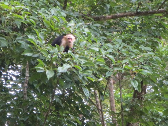 Bosque del Cabo Rainforest Lodge: Capuchin!