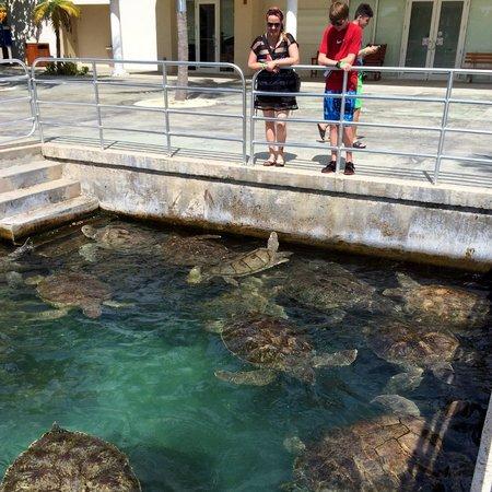 Stingray City: turtle farm