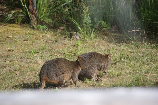 Southern Forest Accommodation : Local Pademelons!