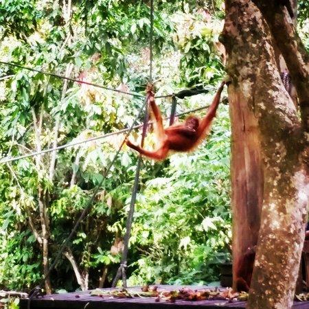 Sepilok Jungle Resort : Orang utan