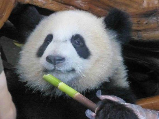 Giant Panda Breeding Research Base (Xiongmao Jidi): mmmm - breakfast!