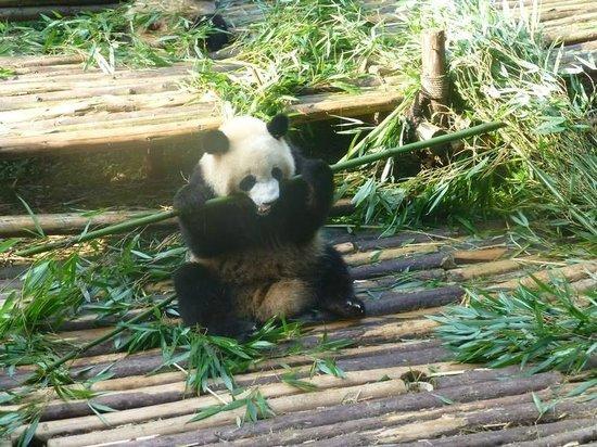 Giant Panda Breeding Research Base (Xiongmao Jidi): eating bamboo - how unusual!