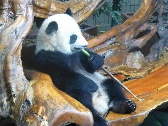 Giant Panda Breeding Research Base (Xiongmao Jidi): Laid back panda!