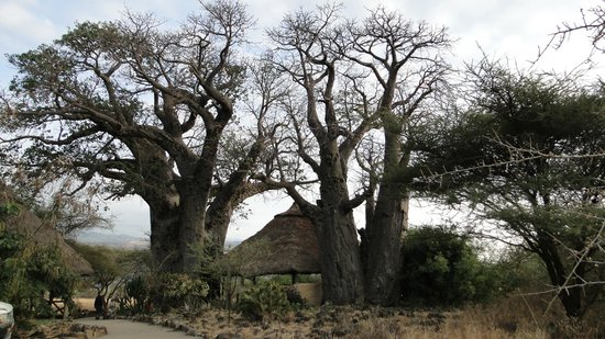 Ol Mesera Tented Camp: The dining room, between two thousand year old baobabs