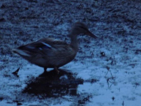 Elizabeth Lake Lodge: Duck in the sanctuary