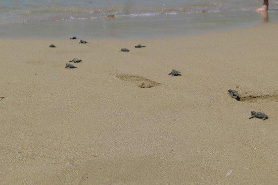 Lara Bay Turtle Conservation Station : baby turtles