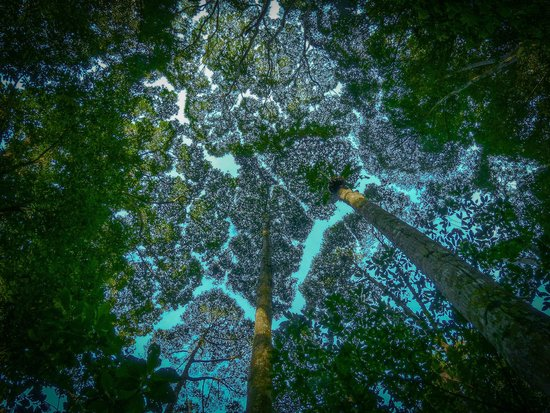 FRIM -Forest Research Institute of Malaysia: Tree top art