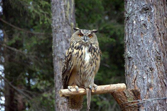 Falconeria Dolomiti: Il maestoso gufo, che quando vola non emette alcun rumore