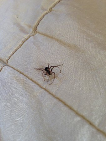 The Kikar Lodge : Little more close up of spider on the bed